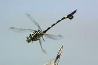 ウチワヤンマの飛翔姿を♪ - 『私のデジタル写真眼』