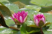 イギリス庭園の睡蓮 - 下手糞でも楽しめりゃいいじゃんPHOTO BLOG