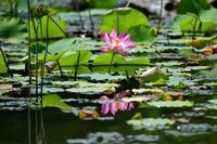 ハス…大沢の池 - Taro's Photo