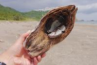 黒潮の運ぶモノ・変形ココヤシ - Beachcomber's Logbook