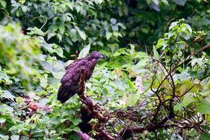 ハチクマの枯れ木どまり - T/Hの野鳥写真-Ⅲ