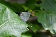 ウラジロミドリ確認も・・・・ - 蝶と自然の物語