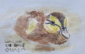 #野鳥スケッチ #ネイチャー・ジャーナル 『軽鴨』Anas zonorhyncha -