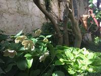 ささやかにクリスマスローズ - Mayumin's rose garden&table 小さな秘密の花園で