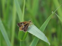梅雨の晴れ間に似合うセセリ達 - 蝶超天国