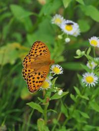 ヒョウモン類と遊ぶ - 蝶超天国