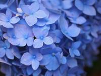 紫陽花 Blue - Blue Planet Cafe  青い地球を散歩する