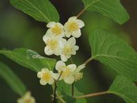 『木天蓼(マタタビ)の花』 - 自然風の自然風だより