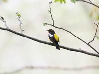 枝先で囀るキビタキ - コーヒー党の野鳥と自然 パート2
