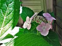 もうすぐ梅雨入り(うちの庭は、【つゆ爛漫」です。】 - nabetatu52のブログ「ゆっくり・ゆったり」