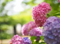 紫陽花♡(^_^) - fukko-san*  blog