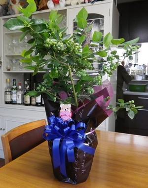 ブルーベリーの鉢植え -