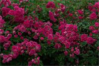 バラ色に染まる - 光のメロディー
