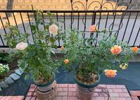 明日梅雨入りかな? - 春&ナナと庭の薔薇