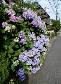 町なか&庭の紫陽花 - 【出逢いの花々】