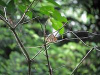 枯れ枝に止まるミドリヒョウモン - 秩父の蝶