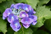 三景園の紫陽花 4 - できる限り心をこめて・・Ⅲ