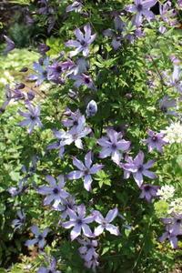 アンティークなバラ♪パシュミナ&トリテレイア - ペコリの庭 *