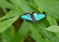 ミドリシジミの開翅 - 蝶鳥写楽
