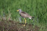 田んぼのケリ - 私の鳥撮り散歩