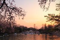 井の頭恩賜公園の桜 - Lovepan