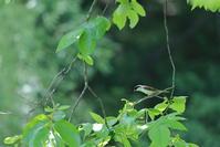 今季最後…【チゴモズ・ノジコ・イカル・ブッポウソウ・サシバ・ホオジロ・ヒヨドリ・キビタキ】 - 鳥観日和