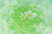 カシワバアジサイ - 光 塗人 の デジタル フォト グラフィック アート (DIGITAL PHOTOGRAPHIC ARTWORKS)