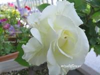 二十年前の挿し木:今年も咲いたティネケ - 風と花を紡いで