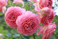 やっと咲いたジュビリーセレブレーション - my small garden~sugar plum~