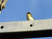 シジュウカラ幼鳥かな - しらこばとWeblog