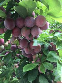 スモモの収穫 - 米作り名人