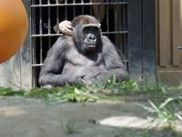くすぐられるゲンタロウ[京都市動物園] - a diary of primates