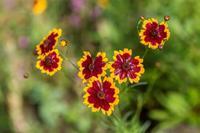 ハルシャギク - あだっちゃんの花鳥風月