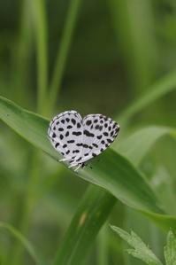 ゴイシシジミの開翅と黒いヒメシジミ - 蝶超天国