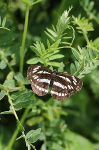 産卵、卵、幼虫の観察 - 蝶超天国