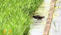 第二弾タマシギこの地は昔、湿地帯だったそうですその匂いがあるため来るそうです。誠 - 皇 昇