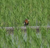 タマシギ - 打出頑爺の鳥探し