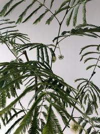 観葉植物♪ - しのやブログ