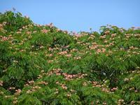 大きなネムノキ - Magnolia Lane