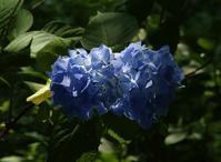 紫陽花やグラスは必ずキンキンに泡六堂 - 丙丙凡凡(蛙声diary)