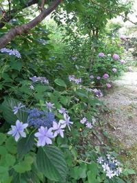 紫陽花を見ながら - Jcotton日記