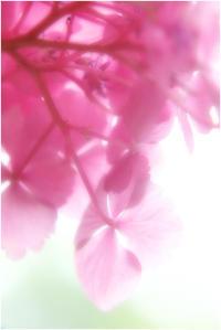 ピンクの紫陽花 - HIGEMASA's Moody Photo
