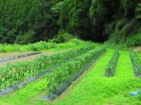 夏野菜の畑と大雨ハンドメイドマーケット - 南阿蘇 手づくり農園 菜の風