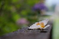 我が家の庭から(ナツツバキ落花) - きょうから あしたへ その2