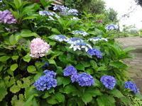 庭の紫陽花 - だんご虫の花