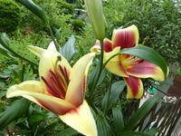 我が家の花フラピア咲く - 風の便り