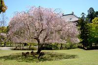 奈良東大寺講堂跡のおかっぱ桜 - ぴんぼけふぉとぶろぐ2