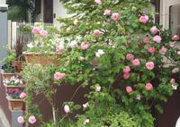 剪定したナニワイバラと久しぶりに豊作(?)だったコンスタンススプライ&#9829(5月18日) - Reon with LR & Roses