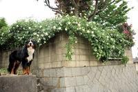 バラまつり土曜日の庭とアリスターステラグレイとロジャー(5月18日) - Reon with LR & Roses