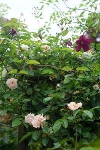 クレマチスと薔薇♪(5月20日) - Reon with LR & Roses